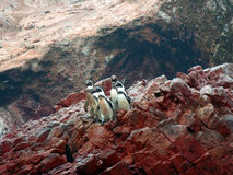 Penguins. Squad of penguins on there way to the water. These are Paracas penguins, found in Peru Stock Photo