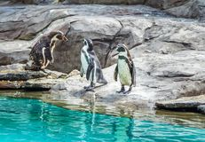 Penguins standing on a pond shore Stock Photos