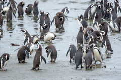 Penguins standing on shore in Chile Stock Photography