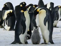 Penguins Standing on the Snow during Daytime Royalty Free Stock Images