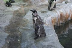Penguins stand on the stones. Penguins are standing on the stones at the zoo Stock Image