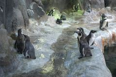 Penguins stand on the stones. Penguins are standing on the stones at the zoo Royalty Free Stock Images
