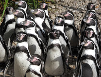Penguins on sunbath. Group of Humboldt Penguins waiting for fish stock image
