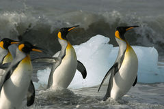 Penguins swim Royalty Free Stock Photos