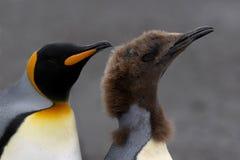 Penguins swim Stock Images