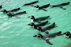 Penguins Swimming stock photos