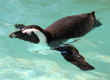 Penguins Swimming Stock Photography