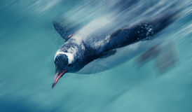 Penguins swimming Royalty Free Stock Photography