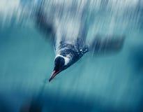 Penguins swimming Stock Photo