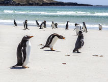 Penguins under Discussion at Falkland Islands Stock Photos