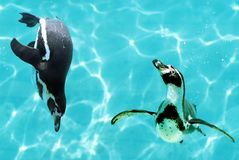 Penguins under water. Closeup two Humboldt penguins (Spheniscus) swimming under blue water with bubbles Royalty Free Stock Photos