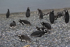 Penguins in Ushuaia Stock Photo