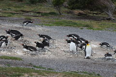 Penguins in Ushuaia Stock Image