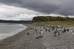 Penguins in Ushuaia Stock Images