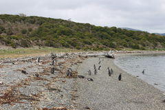 Penguins in Ushuaia Royalty Free Stock Images