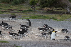 Penguins in Ushuaia Stock Photography