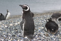 Penguins in Ushuaia Royalty Free Stock Photo