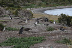 Penguins in Ushuaia Royalty Free Stock Photos