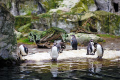 Penguins in Vienna Schonbrunn Zoo. Royalty Free Stock Image