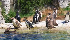 Penguins. Vienna Zoo. Austria Royalty Free Stock Photo