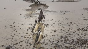 Penguins walk through the mud and rocks royalty free stock image