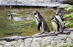 Penguins walk Royalty Free Stock Images