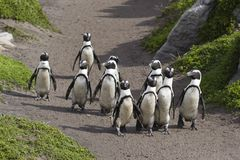 Penguins walking. Group of Penguins on the move royalty free stock images