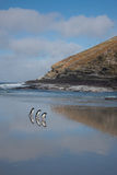 Penguins Walking Along a Beach Royalty Free Stock Photo