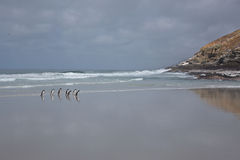 Penguins Walking on a Beach Stock Images