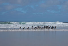 Penguins Walking on a Beach Stock Photos