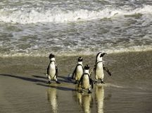 Penguins walking clumsily at Boulder`s Beach royalty free stock photos