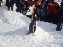 Penguins walk in winter stock photography
