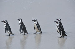 Penguins walking together on beach Royalty Free Stock Image
