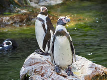 Penguins watching Royalty Free Stock Photo