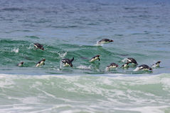 Penguins in Water Stock Images