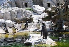 Penguins by waterside Stock Images