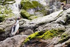 Penguins wildlife sanctuary Chile Royalty Free Stock Images