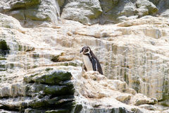 Penguins wildlife sanctuary Chile Stock Photo