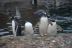 Penguins at Zoo Stock Photography