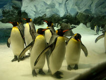 Penguins in a zoo .. Australia Royalty Free Stock Images
