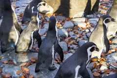 Penguins in the zoo in a beautiful fall weather. stock photography