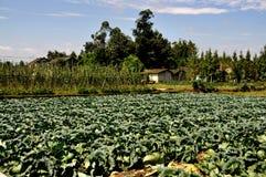 Pengzhou,中国: 在四川农场的圆白菜域 图库摄影