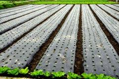 Pengzhou,中国: 幼木增长在塑料之下 库存照片