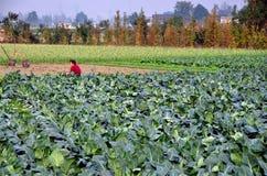 Pengzhou, Κίνα: Γυναίκα στον τομέα του κουνουπιδιού στοκ φωτογραφία με δικαίωμα ελεύθερης χρήσης