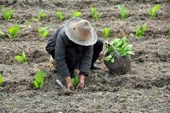 Pengzhou, China: Alte Frau, die Gemüse pflanzt Lizenzfreies Stockfoto