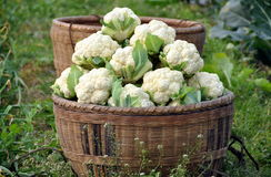 Pengzhou, China:  Basket of Cauliflower Royalty Free Stock Photography