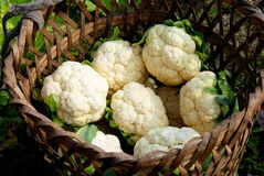 Pengzhou, China: Basket of Harvest Cauliflowers Stock Photo