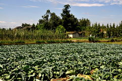 Pengzhou, China: Cabbage Field on Sichuan Farm Stock Photography