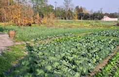 Pengzhou, China: Cabbage and Garlic on Farm Royalty Free Stock Image