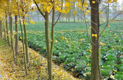 Pengzhou, China: Cabbages and Gingko Trees Stock Photography